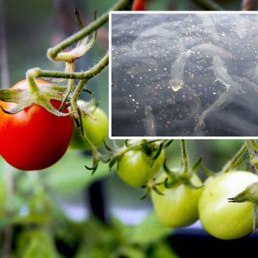 Fiskar hjälper tomater i unik odling