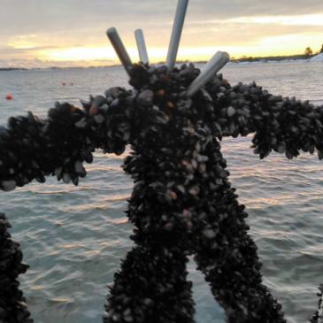 Ny forskning bekräftar musslornas nyttoeffekt