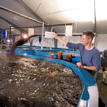 Gårdsfisk först ut av fiskuppfödarna med kvalitetscertifiering